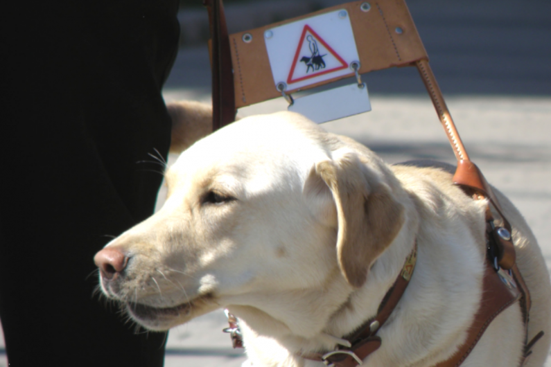 Labrador Eevi working as a guide dog